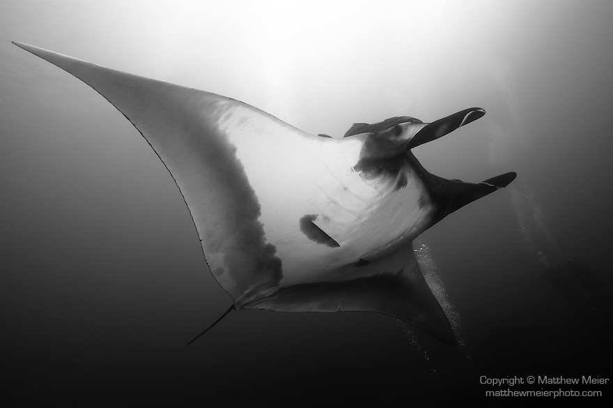 El Canon dive site, San Benedicto Island, Revillagigedos Islands, Mexico; Manta Ray (Manta birostris) and scuba divers , Copyright © Matthew Meier, matthewmeierphoto.com All Rights Reserved