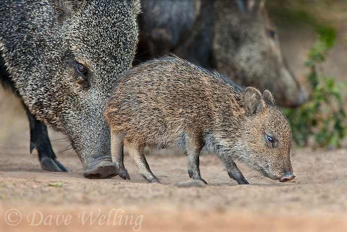 650520185 a wild baby javelina dicolytes tajacu interacts with its mother on beto gutierrez ranch hidalgo county texas united states