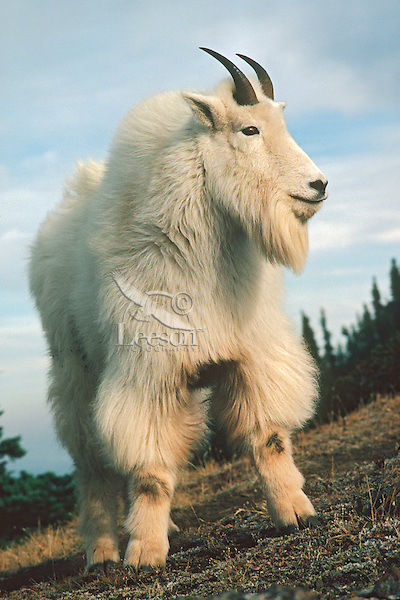 Mountain Goat Billy Oreamnos Americanus With Heavy Fall Fur Pacific Northwest Oct