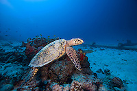 November 26th, 2008_MALDIVES_ A turtle sits on the sea bed near an underwater pipe used by the Soneva Fushi resort island in the Baa Atoll, Maldives.  Soneva Fushi is a leader in green practices and plans to be carbon neutral by 2010 by implementing projects such as a deep-sea water cooling system to replace it's traditional air conditioners.  Photographer: Daniel J. Groshong/Tayo Photo Group