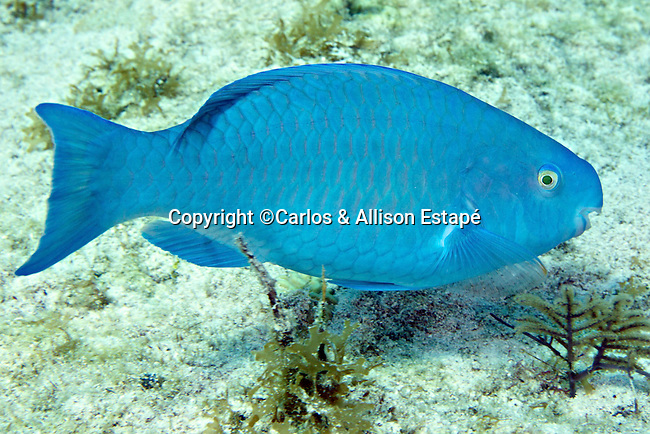 Scarus coeruleus,  Blue parrotfish, Florida Keys