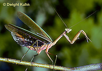 1M26-023z  Praying Mantis adult displaying - Tenodera aridifolia sinensis