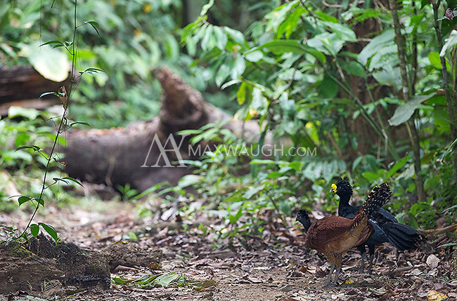 The great curassow emits a low-pitched booming sound that echoes throughout the forest.