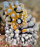 Ocellated & Carlsonhoffs Phyllidia, Dorid Nudibranchs