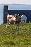 Royaume-Uni, îles Anglo-Normandes, île de Sark (Sercq) : Hôtel-Restaurant: La Sablonnerie    sur Little Sark aprés la Coupée et vache Race Guernesey // United Kingdom, Channel Islands, Sark Island (Sercq): Hotel-Restaurant: La Sablonnerie -