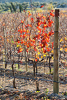 La Clape. Languedoc. Domaine Mas du Soleilla. Vines trained in Cordon royat pruning. Vine leaves. The vineyard. Bright and vibrant red and yellow autumn winter colours. France. Europe.