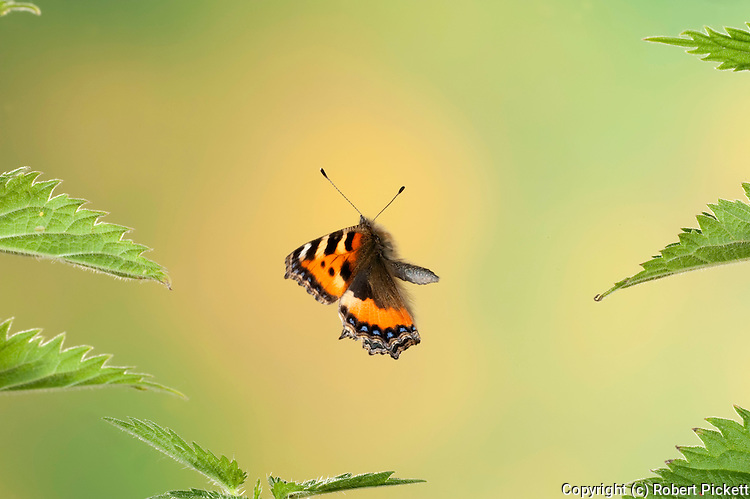Small Tortoiseshell Butterfly, Aglais urticae, in flight, free flying through stinging nettles, high speed photographic technique. . .United Kingdom....