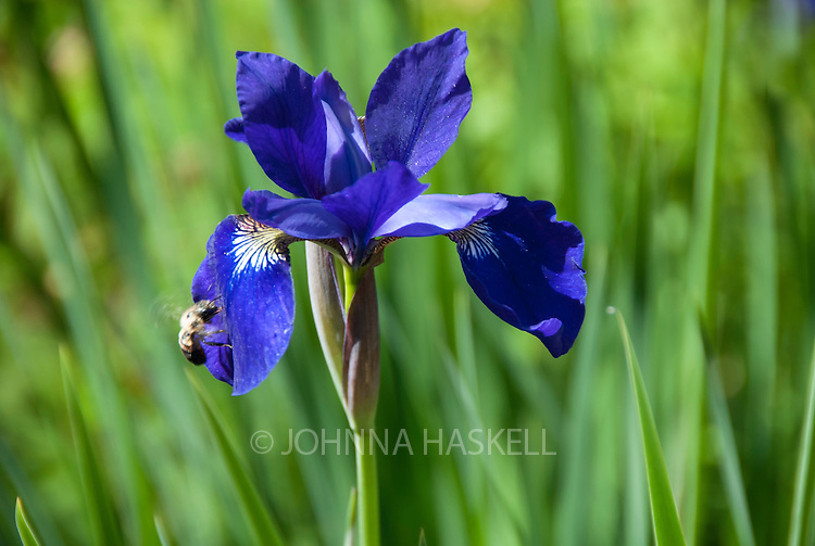 Deep purple iris attracting a bee.