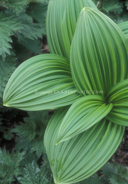 Shade perennial foliage plant Veratrum nigrum also known as Black hellebore, False Hellebore, a poisonous plant, medicinal plant, showing ribbed corrugated green leaves