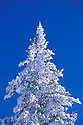 Snow covered conifer tree, Carson National Forest, Tusas Mountains, (near Tierra Amarilla) New Mexico