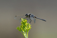 362690018 a wild male black meadowhawk sympetrum danae perches on a plant stem in mono county california