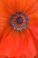 Orange poppy with purple pistils and stamens
