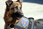 K-9 officer Bosco the German Shepherd dog that sniffs for drugs.  Germantown Police Department, Wisconsin