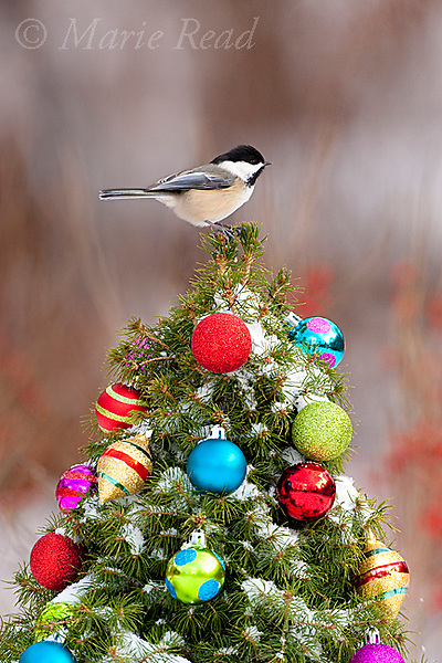 Black-capped Chickadee (Poecile atricapilla) perched on a decorated Christmas tree, New York, USA