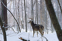 White-tailed Deer (Odocoileus virginianus) buck in winter woods.