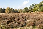 Heather heath vegetation in Suffolk Sandlings heathland, Sutton, Suffolk, England, UK
