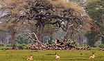 Grant's gazelles (Nanger granti) rest near thorn (Vachellia sp.) woodland, Ngorongoro Conservation Area, Tanzania<br /> <br /> Canon EOS-1D X, EF100-400mm f/4.5-5.6L IS II USM lens, f/14 for 1/500 second, ISO 1600