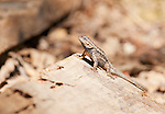 Male Western fence lizard, Sceloporus occidentalis. Mendocino County, California
