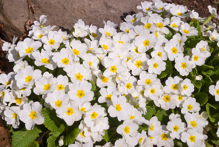 Primula vulgaris primroses in spring bloom