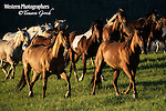A photo of a herd of horses galloping in the early morning light.