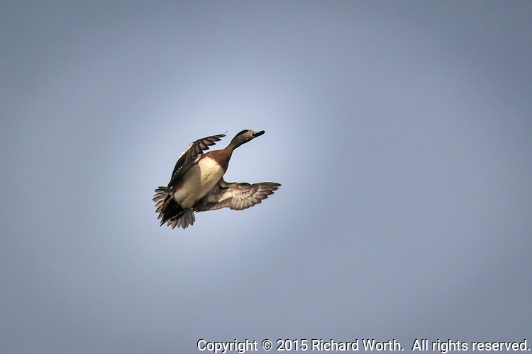 An American wigeon in flight over a neighborhood park, an example of urban wildlife.