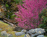 Sierra National Forest, CA<br /> Flowering California redbud (Cercis canadensis) near a small stream in the Merced River Canyon