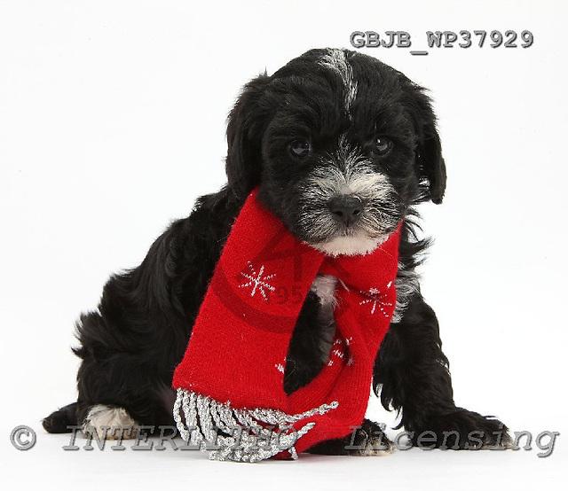 Kim, CHRISTMAS ANIMALS, photos, GBJBWP37929,#XA# stickers