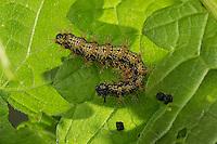 Landkärtchen, Raupe frisst an Brennnessel-Blatt, Landkärtchenfalter, Landkärtchen-Falter, Araschnia levana, map butterfly, caterpillar, Le Carte géographique