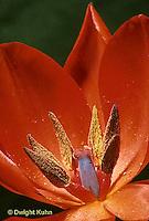 HS08-023b  Flower Reproduction - petals, stamens surrounding pistil - Tulipa spp.