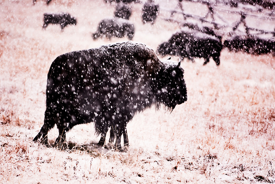 A bison weathers a snowstorm in Hayden Valley in Yellowstone National Park.