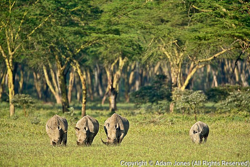 Trio of White Rhinoceros grazing, Ceratotherium simum, Lake Nakuru National Park, Kenya, Africa