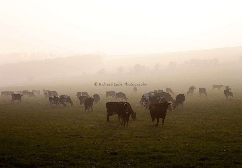 Photo: Richard Lane/Richard Lane Photography. Dairy cows grazing during the spring in the Wylye Valley, Wiltshire. 13/03/2014.