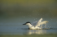 Gull-billed Tern, Sterna nilotica, adult bathing, Welder Wildlife Refuge, Sinton, Texas, USA