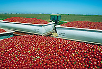 truck loads of bright red tomatoes in field ready for processing. agriculture, food, agribusiness, vegetable, business, farming, crop, crops, harvest. California.