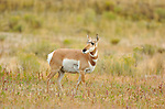 Pronghorn Female, North Entrance, Yellowstone National Park, Gardiner, Montana
