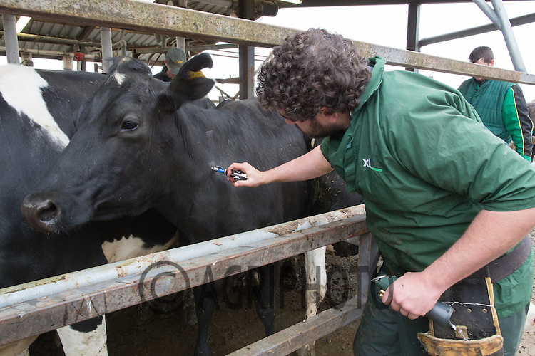 Tuberculosis testing Dairy cattle <br />