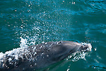 New Zealand, South Island: Dolphins and swimming with dolphins and Dolphin Watch  Ecotour snorkeling in Marlborough Sounds near Picton. Photo copyright Lee Foster. Photo # newzealand125236