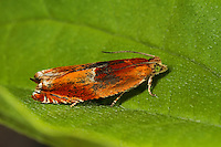 Ancylis mitterbacheriana, Red Roller, Wickler, Tortricidae, tortrix moths