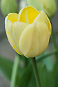 Tulip 'Ivory Floradale', mid April. A creamy yellow-white Darwin Hybrid Group tulip.