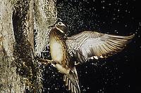Wood Duck, Aix sponsa, female landing at nesting cavity, Raleigh, Wake County, North Carolina, USA
