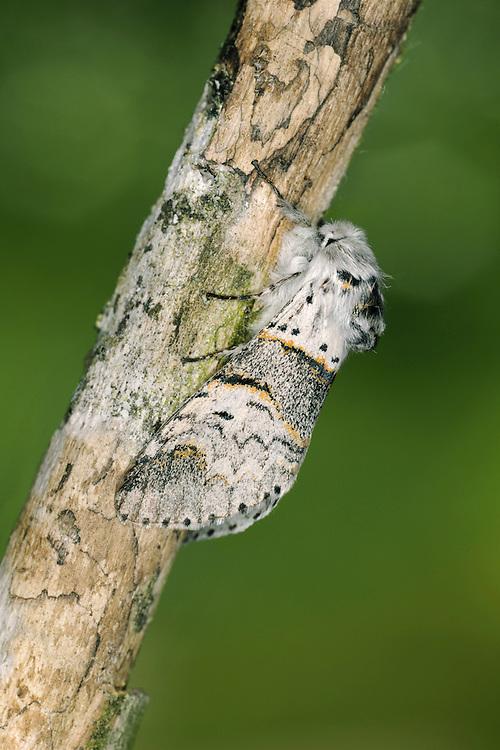 Poplar Kitten - Furcula bifida