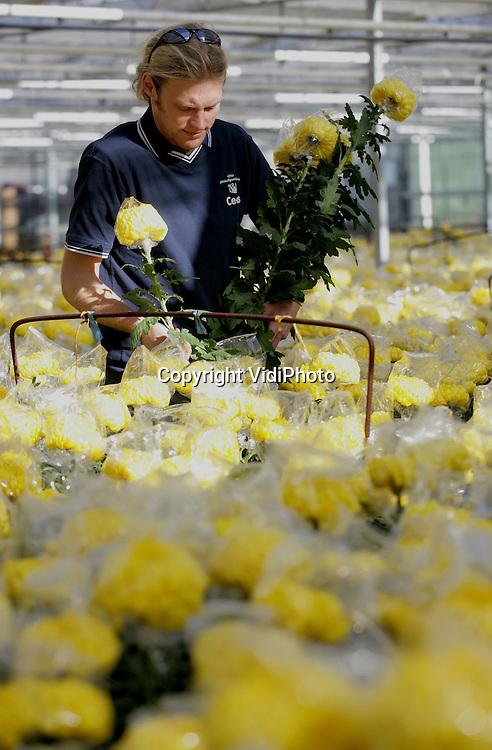 Foto: VidiPhoto..KALKAR (DL) - In het Duitse Kalkar is chrysantenkweker Cees de Jong begonnen met de oogst van zijn pluischrysanten. De vraag naar deze snijbloem is op dit moment groot omdat pluischrysanten begin november.tijdens Allerzielen op de graven van familieleden geplaatst worden in vooral Zuid-Nederland en Zuid-Duitsland. De Hollandse kweker op Duitse bodem voert zijn produkt aan via de bloemenveilingen in Bemmel en Aalsmeer. Vanwege de populariteit van deze bloem bij onze oosterburen, worden er daar inmiddels al meer pluischrystanten gekweekt dan in Nederland.