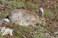 White-tailed Jackrabbit (Lepus townsendii) feeding.  Montana.  June.