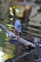 Green Heron looks for fish