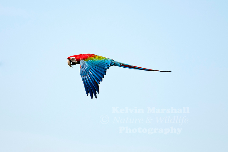 The Scarlet Macaw (Ara macao) is a large, colorful macaw. It is native to humid evergreen forests in the American tropics. Range extends from extreme south-eastern Mexico to Amazonian Peru, Bolivia and Brazil in lowlands up to 500 m (1,640 ft) (at least formerly) up to 1,000 m (3,281 ft). It has suffered from local extinction through habitat destruction and capture for the parrot trade, but locally it remains fairly common. Formerly it ranged north to southern Tamaulipas. It can still be found on the island of Coiba. It is the national bird of Honduras.