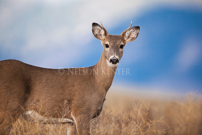 A yearling spike whitetail