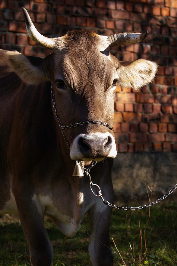 Domestic cow (Bos taurus) with bell on a chain, portrait. Mehedinti Plateau Geopark, Geoparcul Platoul Mehedinți, Isverna, Romania.