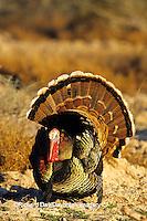 """00845-04807 """"Rio Grande"""" Wild Turkey (Meleagris gallopavo) male/gobbler strutting,  Starr Co.  TX"""