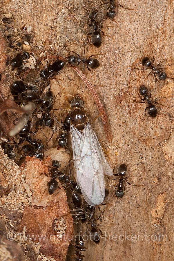 Wegameise, Nest in Totholz mit Puppe, Puppen und mit geflügelten Tier, Lasius s.str., Lasius cf. platythorax, Black Ant