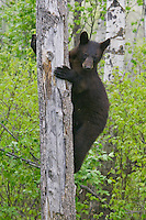 Black Bear cub climbing a tree